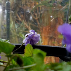 観葉植物/においすみれ/テラス/花/花たちの会話/🍘/... テラスから 植物達が外を見つめています……