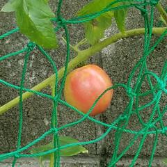 家庭菜園/フルーツ/プルーン/フルーツトマト/実のなる木 育ってます✨。:+((*´艸`))+:。…(2枚目)
