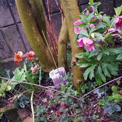 お花/雨上がりの庭/雨あがりの花/フィンガーライムの木/庭の花/庭のある暮らし/... ☔昨日は、大雨と風🍃🌀〰️(>_<)  …(3枚目)