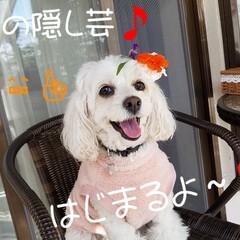 ワンコの芸/犬好きさんと繋がりたい/わんこのいる暮らし/犬好き/みるく/隠し芸 みるくの隠し芸☝ 番外編🎵  お正月ので…
