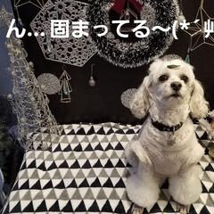 ワン芸/ワンコもツリー/ツリー/犬好き/ワンコの笑顔/犬のいる暮らし/... 🐩ワンコもツリー🎄 ツリー🎄に見えたのは…(3枚目)