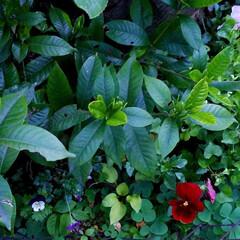 庭の花達/オリーブ/セージ/アラビアンJASMINE/くちなし/これから咲く花/... お庭の花達です🌼🎵  一枚目は、🍋の花💠…(10枚目)