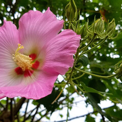 ガーデン/庭の花達/庭/ガーデニング/花 庭の花達と🌳🍋  ようやく気温が少し落ち…