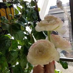 わんこのいる暮らし/ガーデン/花/必需品/私の必需品/いいねTop10決定戦/... 花は、私の必需品(*^▽^)/★*☆♪🌼…(3枚目)