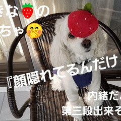 わんこのいる暮らし/犬の隠し芸/犬のいる生活/隠し芸/みるく/ワンコの芸 みるくのー☝ 新春🎵隠し芸~第二段(*´…(10枚目)