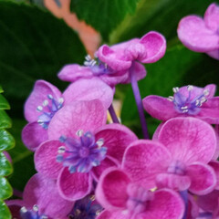 花のある暮らし/紫陽花/梅雨/おしゃれ/暮らし/梅雨対策/... 変わった紫陽花見つけました☝ なんとこの…