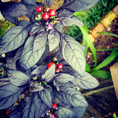 黒い葉/庭のアクセント/唐辛子🌶️/はな/庭/庭づくり/... お庭のアクセント  西洋唐辛子🌶️