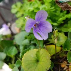 花/にわ/ガーデニング/花のある暮らし/ガーデン雑貨/ガーデニング雑貨/... まだ寒かったりですが、お庭の花達が、あち…(7枚目)