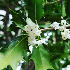 クリスマス🎂の葉/いい香り/花木/風景 玄関先の柊の花が満開です🎵 とってもいい…