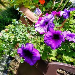 鮮やかカラー/庭/花のある暮らし/はな/ガーデン/暮らし/... 庭が、鮮やかになりました💠🌼🥀🌿(5枚目)