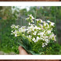 家庭菜園/ガーデン/大根の花/グリーン/白い花/野菜 🌷この花は❔   二十日大根の花です🎵 …