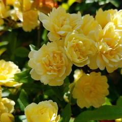 花/庭の花/ガーデン/住まい/暮らし/庭に咲く花 私の癒し~❣️ 庭の花達を少し…:*+.…