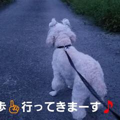 散歩/散歩道/途中/ワンコのいる生活/犬のいる暮らし/ムクゲ/... 🐩🚶♀️昨日のお散歩と途中出会ったムク…(1枚目)