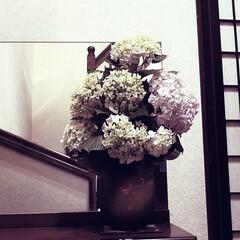 庭の花/シーズン/紫陽花/花/わたしのお気に入り/令和元年フォト投稿キャンペーン/... 今週のお出迎えの花🥀 庭の紫陽花達が、咲…