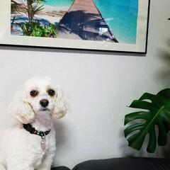 観葉植物のある暮らし/観葉植物/犬好きさんと繋がりたい/みるく/我が家の観葉植物/犬と植物/... 観葉植物とみるく😁🎵 おすまし🤭みるくだ…