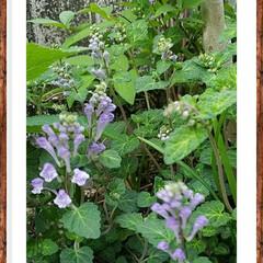 花壇/花/グリーン/紫色 自宅の花壇は、色々咲き始めました🎵  こ…