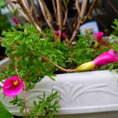 """ガーデニング植物/オキザリス/庭の花 これも💐""""オキザリス""""だよ~🤗  とって…"""
