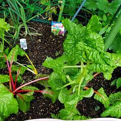 家庭菜園/野菜/ガーデン/梅雨/ボタニカル/住まい/... スイスチャード🌱  🌈梅雨に入ったのに雨…