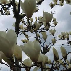 花/にわ/ガーデニング/花のある暮らし/ガーデン雑貨/ガーデニング雑貨/... まだ寒かったりですが、お庭の花達が、あち…(2枚目)
