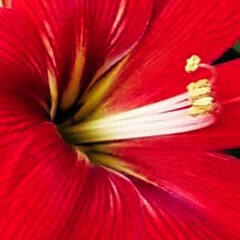 華/花/朱色/暮らし/朱色の花 朱色の華を集めてみました🌼 全て、超UP…