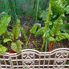 野菜/スイスチャード/家庭菜園/梅雨/ボタニカル/フード/... スイスチャード  狭い花壇の中に植えてい…