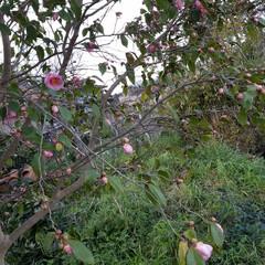 つばき/さざんか/散歩道/お出かけ/ピンク/暮らし 🐩🚶♀️お散歩に出逢った花達🌼Ⅱ  先…(5枚目)
