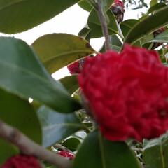 つばき/さざんか/散歩道/お出かけ/ピンク/暮らし 🐩🚶♀️お散歩に出逢った花達🌼Ⅱ  先…(2枚目)