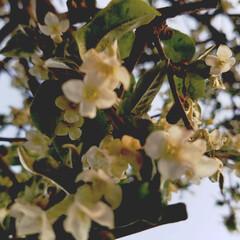庭/ガーデニング/庭の花/春の一枚/フォロー大歓迎/風景/... 庭の花達 Ⅱ 1枚目は、ビックリグイミの…