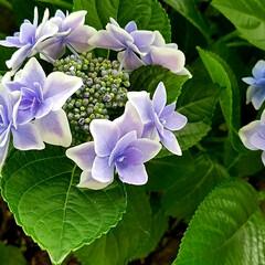 花/紫陽花/ガーデン/庭/梅雨/住まい 庭の額紫陽花 白い縁取りが広くなって… …