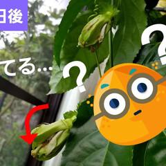 果実/果物の花/フルーツの花/パッションフルーツの実/フルーツ/パッションフルーツの花/... パッションフルーツ☝ 日曜日来るまでに咲…(3枚目)