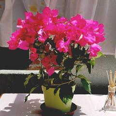 花/梅雨/ボタニカル/インテリア/住まい/テラス/... ブーゲンビリア🌈今年も鮮やかに咲いていま…