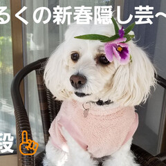 わんこのいる暮らし/犬の隠し芸/犬のいる生活/隠し芸/みるく/ワンコの芸 みるくのー☝ 新春🎵隠し芸~第二段(*´…(1枚目)