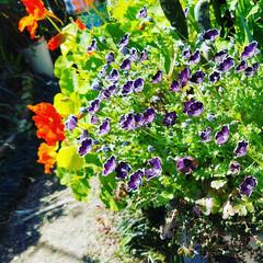 ちょうちょ/テラス/家庭菜園/花/ハーブ/ガーデニング/... 春だね~(*´艸`*)❣️と言えるお庭に…
