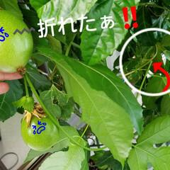 金柑の花/みるく/パッションフルーツの実/パッションフルーツ/庭の花/神様トンボ/... みるくに🤫内緒で育ててましたが、 先日……(1枚目)