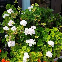 家庭菜園/フォトフレーム作り/ガーデン/花のある暮らし/お庭/雑貨/... フォトフレームを少しお花で飾って見ました…(3枚目)