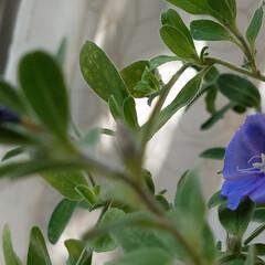 紫カリフラワー/カリフラワー/野菜/変わった色野菜 自宅にあるブルー係を集めて見ました💙💜 (4枚目)