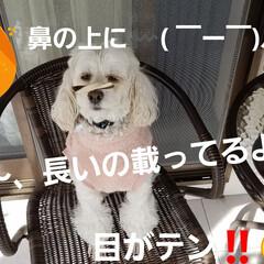 わんこのいる暮らし/犬の隠し芸/犬のいる生活/隠し芸/みるく/ワンコの芸 みるくのー☝ 新春🎵隠し芸~第二段(*´…(4枚目)