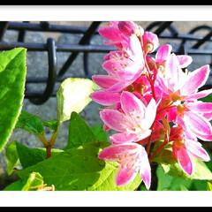 庭木/ピンク/うつぎ/さくら/ガーデン/グリーン 『桜うつぎ』が咲きました🎵  今年は、地…