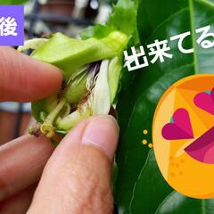 果実/果物の花/フルーツの花/パッションフルーツの実/フルーツ/パッションフルーツの花/... パッションフルーツ☝ 日曜日来るまでに咲…(4枚目)