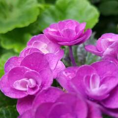 紫陽花/わんこのいる暮らし/季節インテリア/梅雨/梅雨対策/玄関あるある/... 玄関のお出迎えの華 庭の紫陽花を玄関に飾…(7枚目)