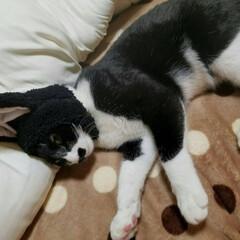 ねこのお昼寝/うちのこベストショット/LIMIAペット同好会/ペット/ペット仲間募集/猫/... ニャンタのお昼寝〰️😻 可愛いニャンタ〰…