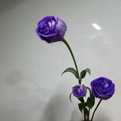 紫カリフラワー/カリフラワー/野菜/変わった色野菜 自宅にあるブルー係を集めて見ました💙💜 (2枚目)