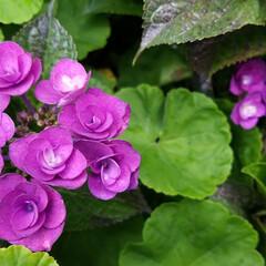 紫陽花/わんこのいる暮らし/季節インテリア/梅雨/梅雨対策/玄関あるある/... 玄関のお出迎えの華 庭の紫陽花を玄関に飾…(8枚目)