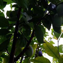 庭/プルーン/実/庭の花/熟れてます/実のなる木 プルーン熟れて来ています🎵 ☂️ばかりで…(1枚目)