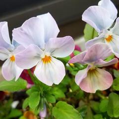 花/にわ/ガーデニング/花のある暮らし/ガーデン雑貨/ガーデニング雑貨/... まだ寒かったりですが、お庭の花達が、あち…(8枚目)