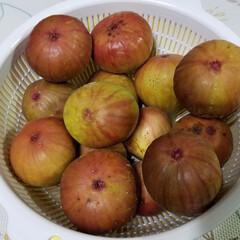 プルーン/実のなる木/庭/庭木/イチジク/節約/... 無花果、たくさん収穫しました🎵  ほんと…
