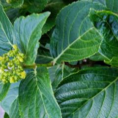庭の花達/オリーブ/セージ/アラビアンJASMINE/くちなし/これから咲く花/... お庭の花達です🌼🎵  一枚目は、🍋の花💠…(2枚目)