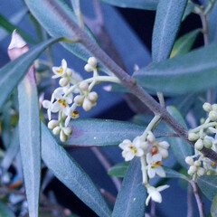 庭の花達/オリーブ/セージ/アラビアンJASMINE/くちなし/これから咲く花/... お庭の花達です🌼🎵  一枚目は、🍋の花💠…(6枚目)