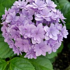 紫陽花/梅雨 まん丸紫陽花 今年は、少しブルーかかって…