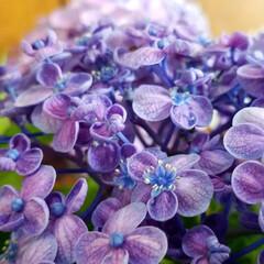 花のある暮らし/紫陽花/梅雨/おしゃれ/暮らし/梅雨対策/... 変わった紫陽花見つけました☝ なんとこの…(2枚目)